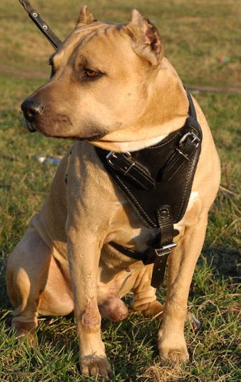 Agitation/Protection Leather Dog Harness for Amstaff/terrier