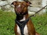 Tracking Walking leather dog harness- pitbull dog harness