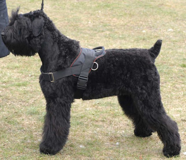 Nylon dog harness for Giant Schnauzer , for tracking/pulling