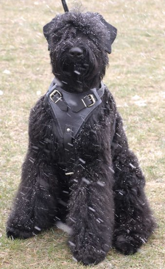 Tracking,custom Leather Dog Harness for black russian terrier