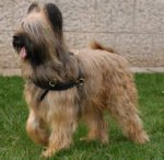 Tracking/Pulling Leather Dog Harness- Briard harness
