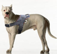 Dogo Argentino dog harness