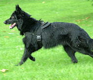 belgian sheepdog nylon dog harness