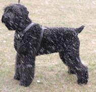 black russian terrier dog harness