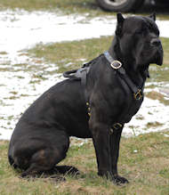 Exclusive Luxury Handcrafted Padded Leather Harness cane corso