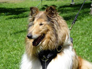 Collie dog harness, leather dog harness