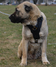 Luxury dog harness for Anatolian Shepherd