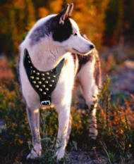 studded walking dog harness for Siberian Husky