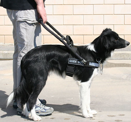 Mobility Support Harness for service / assistance dogs