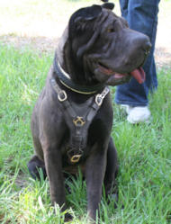Exlusive leather dog harness for Sharpei click here