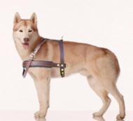 Siberian husky tracking dog harness
