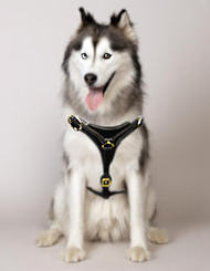 Siberian Husky walking dog harness