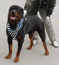 Rottweiler Spiked leather dog harness
