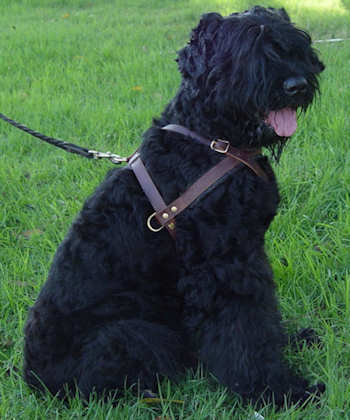 leather dog harness for tracking, wallcking