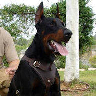 Agitation/Protection Leather Dog Harness for doberman pinscher