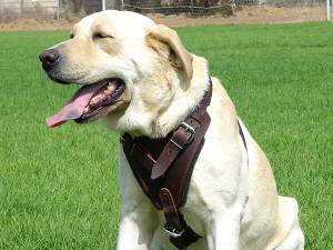 leather dog harnes for labrador retriever