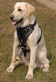 Walking Leather Dog Harness for Labrador Retriever