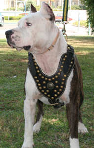 Amstaff-pitbull dog harness
