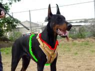 doberman dog harness