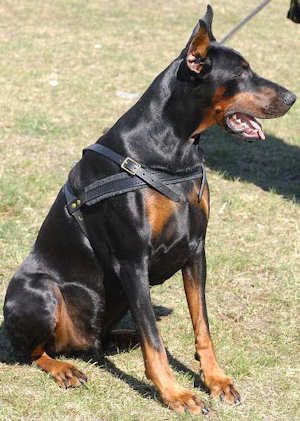 doberman dog harness, tracking dog harness