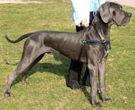 Great dane leather dog harness