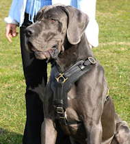 best dog harnes for great dane