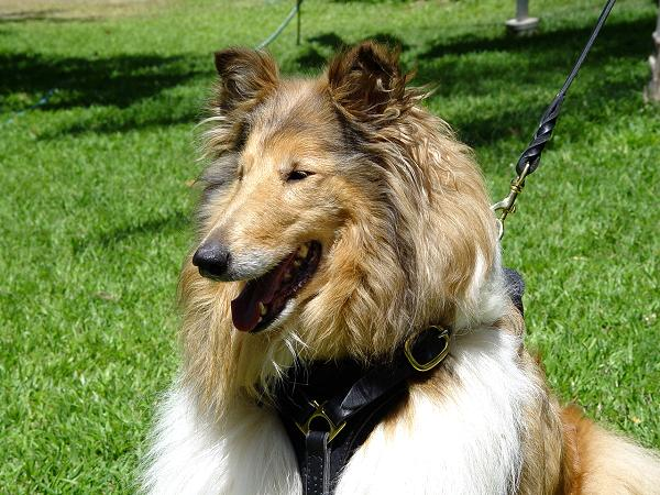Tracking Walking leather dog harness - Collie dog harness