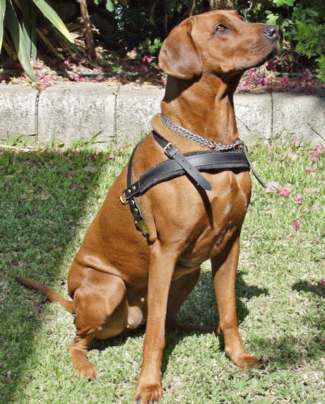 Ridgeback leather tracking harness