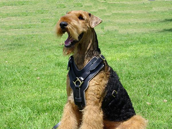 Adjustable Airedale Terrier Harness for Training