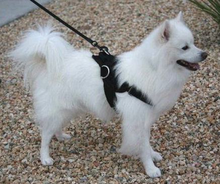 small nylon dog harness with handle and 3 D rings for leshes - small harness for small breeds like American Eskimo