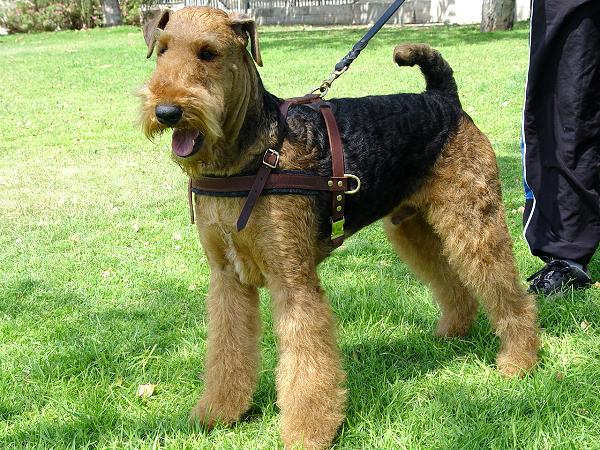 Pulling Airedale Terrier Harness Leather