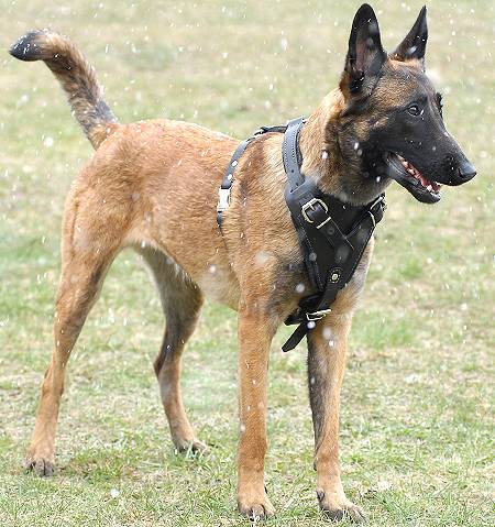 Agitation/Protection Leather Dog Harness for Belgian Malinois