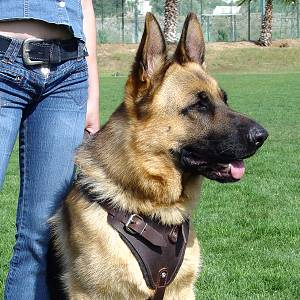 leather dog harness dor dog training , k9 dog training