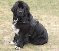 nylon dog harness with handle for newfoundland