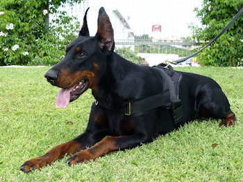 Nylon multi-purpose dog harness for tracking / pulling