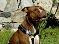 pit bull harness leather dog harness