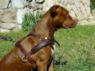 leather dog harness for pit bull