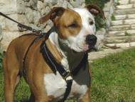 American Staffordshire Terrier dog harness