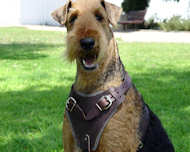 Airedale Terrier dog harness for training