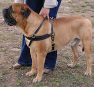 dog harness for bullmastiff breed