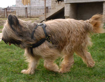 pulling dog harness for briard