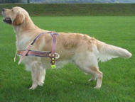 Tracking, pulling dog harness for Golden Retriever click here