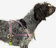tracking leather dog harness for Wirehaired Pointing Griffon